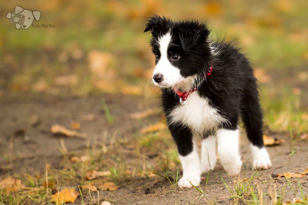 Słodki szczeniaczek Border Collie w deszczu