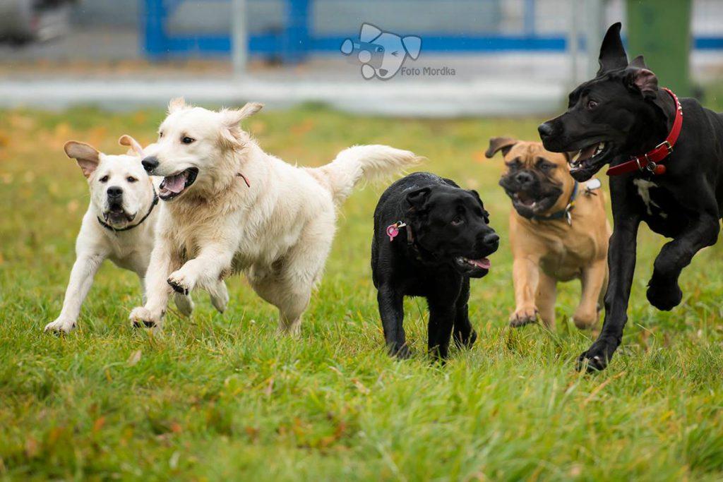 Biegnące, bawiące się psy różnych ras